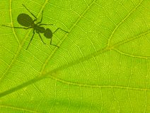 Green leaf with ant shadow Stock Photography