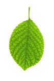 Green leaf of apple-tree Royalty Free Stock Images