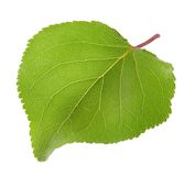 Green leaf of apricot Royalty Free Stock Images