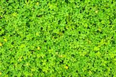 Green leaf of Arachis pintoi (Pinto peanut) Stock Photo