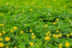 Green leaf of Arachis pintoi (Pinto peanut) Royalty Free Stock Image