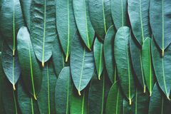 Green leaf arranged into pattern texture background, tropical nature wallpaper texture, copy space. Green leaf arranged into pattern texture background, tropical royalty free stock photos