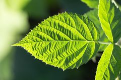 Green leaf as background. In the park in nature Stock Photography