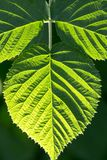 Green leaf as background. In the park in nature Stock Images