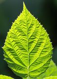 Green leaf as background. In the park in nature Stock Photos
