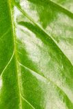Green leaf as background. macro Stock Photography