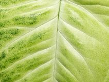 Green leaf as background. macro Stock Photo
