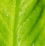 Green leaf as background. macro Royalty Free Stock Photo