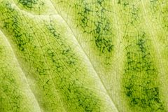 Green leaf as background. macro Royalty Free Stock Photography