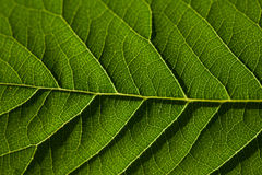 Green leaf as background. Texture of a green leaf as background Stock Photos