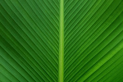 Green leaf as background. Texture of a green leaf as background Stock Image