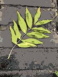 Green leaf. Of ash on the gray parapet. Illustration Stock Images