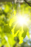 Green leaf of aspen in a sunny day Stock Image
