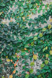 Green leaf attached wall Royalty Free Stock Photo