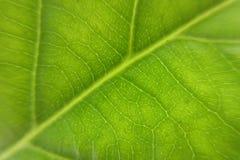 Green leaf of avocado tree Royalty Free Stock Photography