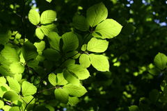 Green leaf in back light Stock Photos