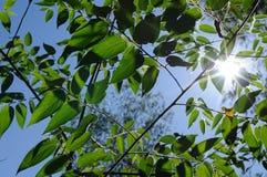 Green leaf back light Stock Photos