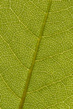 Green Leaf Background. A frame-filling closeup of a green leaf with interesting veins Stock Image