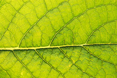 GREEN LEAF BACKGROUND. Detailed shot of a green leaf - useful for backgrounds royalty free stock images