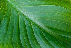 Green leaf background Royalty Free Stock Photo