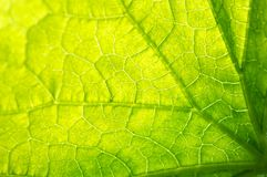 Green leaf background Royalty Free Stock Images