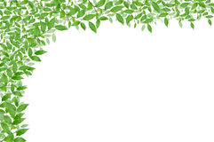 Green leaf background. White background of green leaf royalty free stock photos