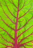 Beetroot leaf background. Green leaf with purple veins, chard or beetroot leaf natural background Royalty Free Stock Image