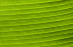 Green Leaf Background. The surface of the leaf of the tree Stock Photo