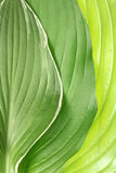 Green leaf background. Detailed image of beautiful fresh green leaves captured in the studio Stock Photography
