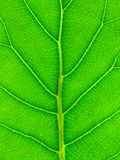 Green Leaf Background. Close-up of a Meryta sinclairii (New Zealand Puka) leaf - back lit to display the veining and suitable for use as a background Stock Photography
