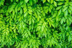 Green leaf background 1 Royalty Free Stock Image