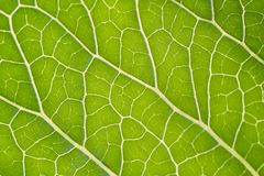 Green leaf background. Close up of leaf texture Royalty Free Stock Photo