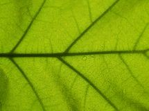Green leaf background. Close up of a green leaf royalty free stock images