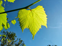Green leaf on a background of blue sky Stock Photo