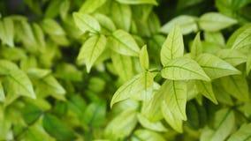 Green leaf background. Bush nature. Stock Images