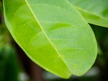 Green leaf background. Close up Royalty Free Stock Image