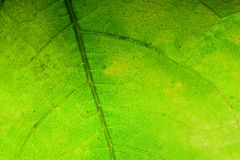 Green leaf background, close-up. Royalty Free Stock Images