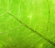 Green leaf background, close-up. Stock Photography