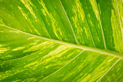 Green leaf background. Close-up green leaf background in the tropical garden Royalty Free Stock Images