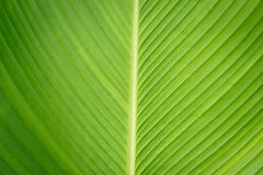 Green leaf background. Background of closeup green leaf Royalty Free Stock Photography
