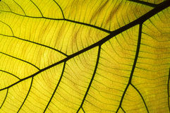 Green leaf background. Closeup of green leaf background Stock Image