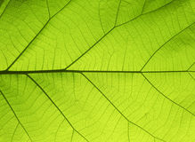 Green leaf background. Closeup of green leaf background Royalty Free Stock Photos