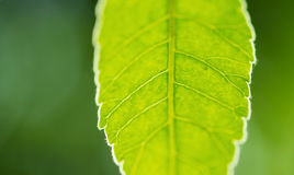 Green leaf background. Closeup on green leaf with blured green background Stock Image