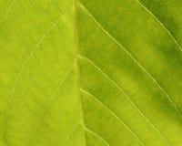 Green leaf background. Green leaf closeup shot. Macro Stock Photos