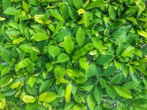 Green leaf for background. Royalty Free Stock Image