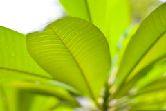 Green leaf with  for background Royalty Free Stock Images
