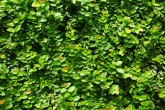 Green leaf wall background Stock Images