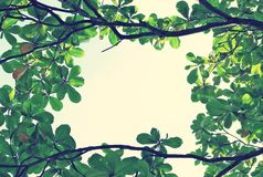 Green leaf background of Indian almond Royalty Free Stock Image