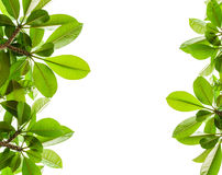 Green leaf background isolated. Green leaf and isolated background Stock Images