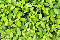 The green leaf background. Leaf, life, nature, fresh green growth pattern bright closeup detail ecology element environment flora foliage light line natural Stock Image